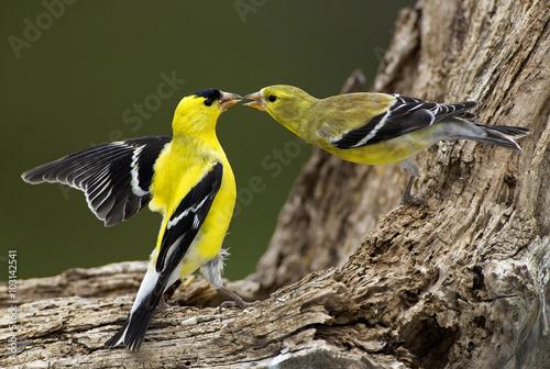 Obraz na plátně American Goldfinch (Carduelis tristis)