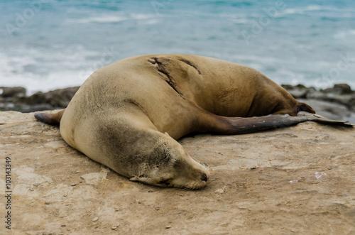 Photo  Single Sleeping Sea Lion on Rocks