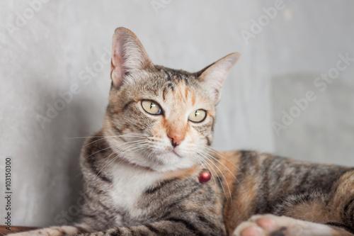 Fototapeta Thai cat pose with grey background obraz na płótnie