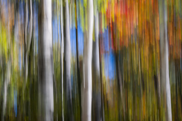Fototapeta Birches in autumn forest