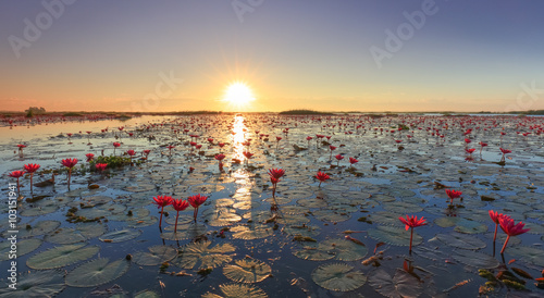 Photo Stands Water lilies The sea of red lotus, Lake Nong Harn, Udon Thani, Thailand