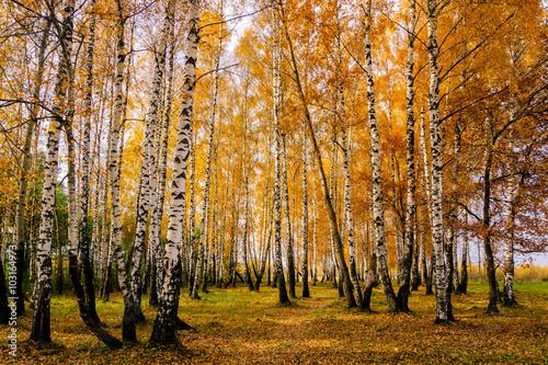 Bosquet de bouleaux Осенняя березовая роща с желтыми листьями