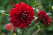 Red Dahlia In The Park