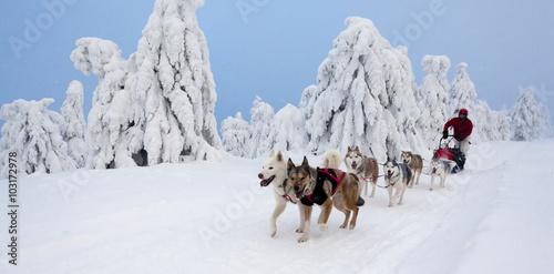 Poster Wintersporten sledge dogging, Sedivacek's long, Czech Republic