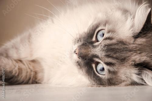Photo  Lying Siberian cat