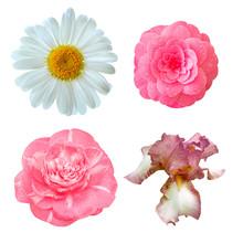 Set Of Flowers: Japanese Camellia, Iris, Daisy Flower.