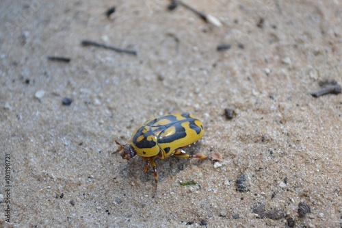 Yellow Beetle in Sand