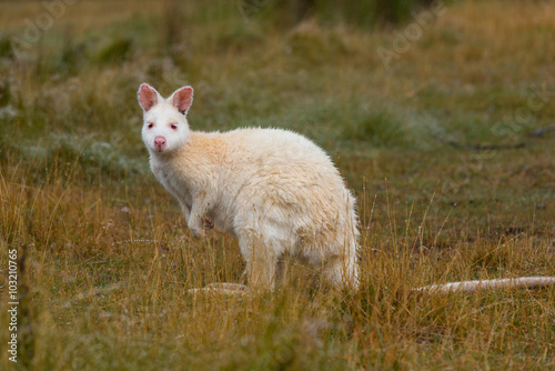 Albino Bennetts Wallaby Canvas-taulu