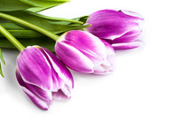 Three Purple Tulips Isolated O...