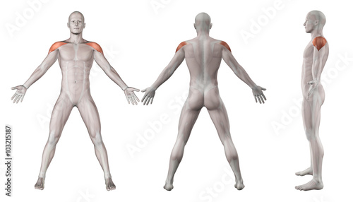 3D images showing male figure with deltoid muscles highlighted Tablou Canvas