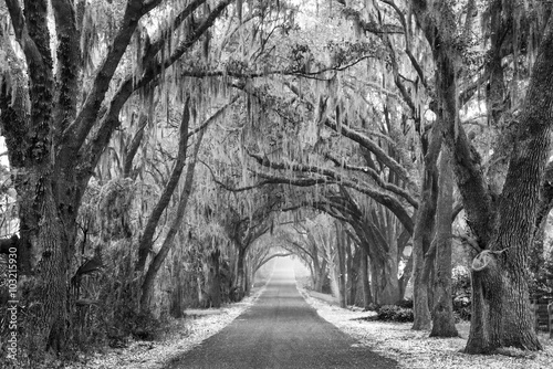 Fotografie, Obraz  Lines of old live oak trees with spanish moss hanging down on a scenic southern
