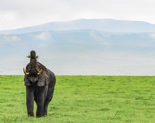 Elephant With Mouth Wide Open And Trunk Held High Holding Grass Ready To Eat