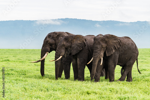 Photo  three elephants standing  in a row  on the Ngorongora Crater floor