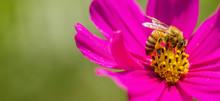 Honey Bee, Bee