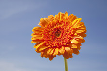 Orange Gerbera And Sky