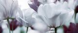 Fototapeta Tulips - tinted tulips concept