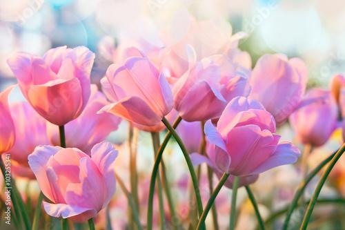 Obraz Szalone tulipany - fototapety do salonu