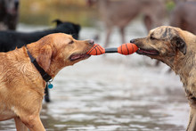 Two Dogs Playing Tug Of War In The Water