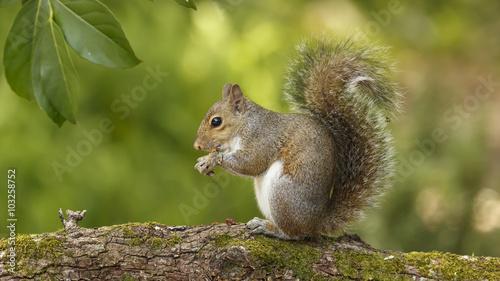 Foto op Canvas Eekhoorn Squirrel on Branch