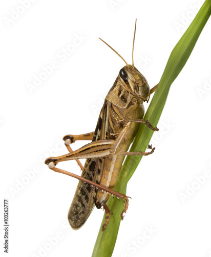 Cuadros en Lienzo Locusts on a green plant