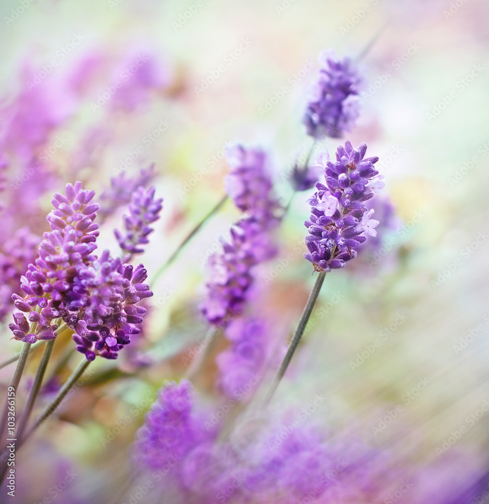 Fototapeta Soft focus on lavender flowers