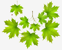 Summer Leaf Maple And Maple Branch Isolated On White
