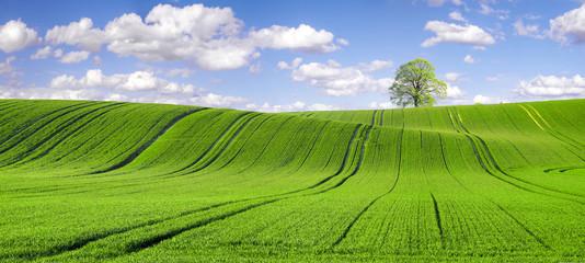 pole młodego,zielonego zboża