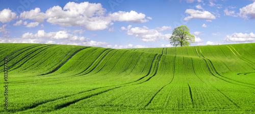 pole młodego,zielonego zboża - 103277739