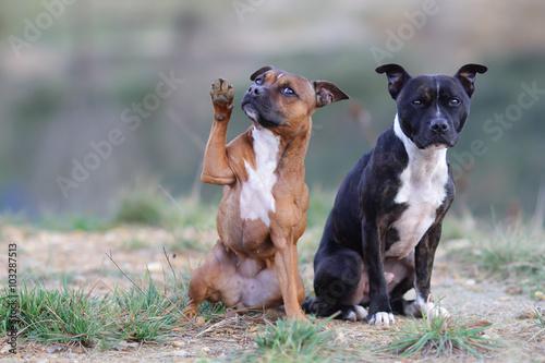 Fotografia Staffordshire bull terrier