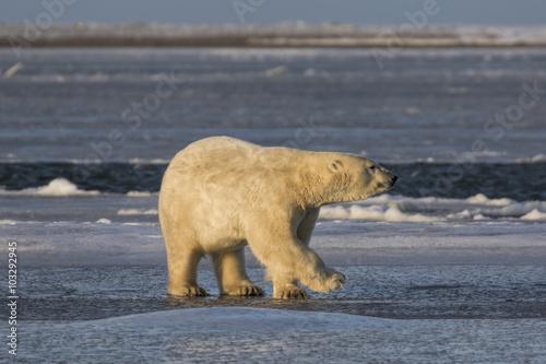 Poster Polar bear Polar Bear walking on ice