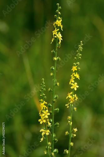Photo Agrimony (Agrimonia eupatoria) flower spikes
