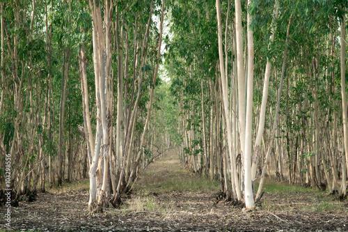 Fotografia, Obraz  Eucalyptus Tree Forest