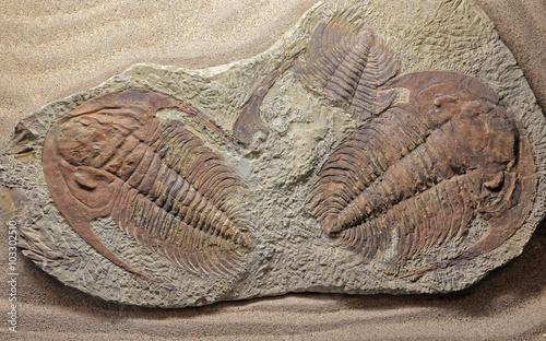 Photo sur Toile Les Textures Trilobite paradoxides sp.