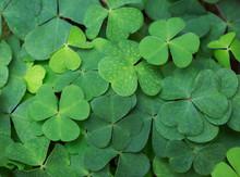 Clover Background. Green Backg...