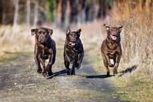 Three Happy Dogs Running Together