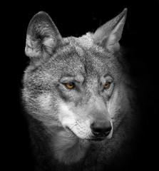 Fototapeta wolf portrait