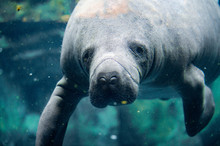 Manatee Close Up Portrait Look...