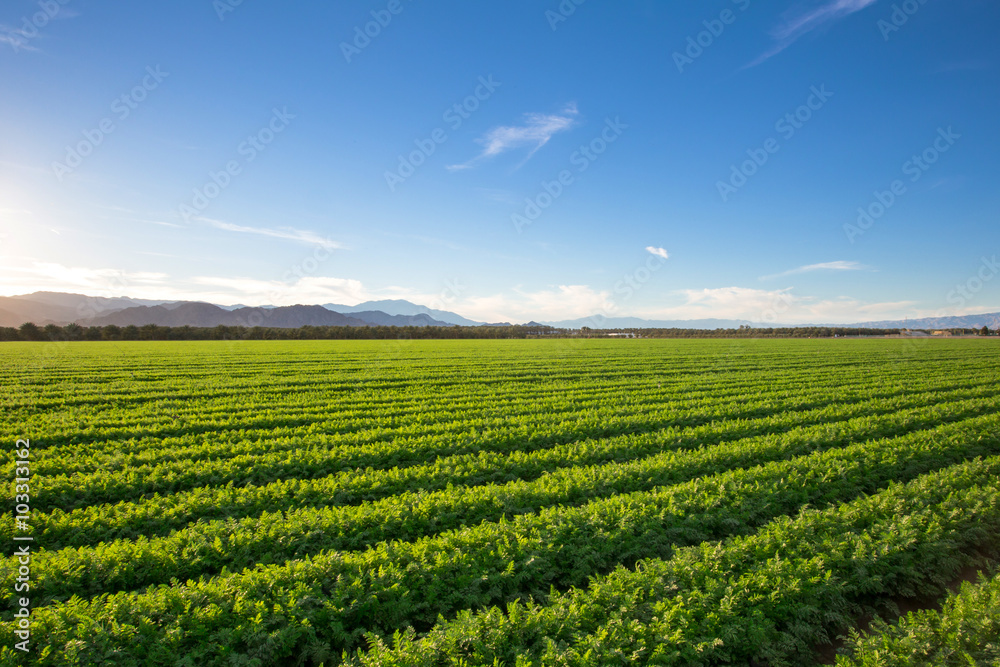Fototapety, obrazy: Organic Farm Land Crops In California. Blue skies, palm trees, multiple layers of mountains add to this organic and fertile farm land in California.