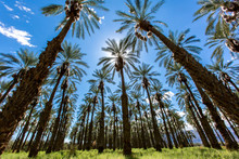 Palm Tree Date Farm Harvest In...