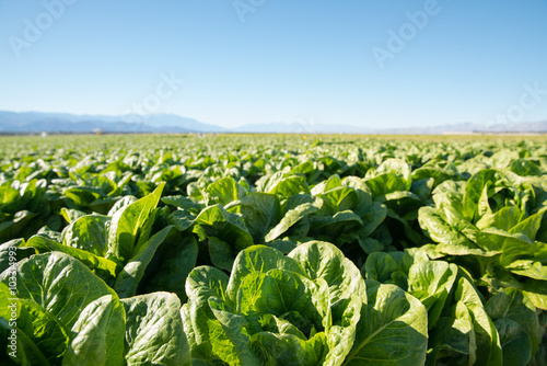 In de dag Cultuur Fertile Field of Organic Lettuce Grow in California Farmland. Field of organic lettuce growing in a sustainable farm in California with mountains in the back.