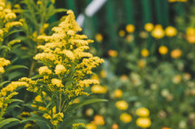 The Plant Goldenrod In Bloom 5...