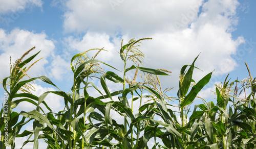 Maize tops Canvas-taulu
