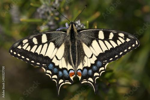 Fotografie, Obraz mariposa Papilio machaon