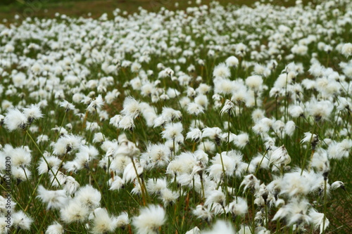 Fotografie, Obraz  Cotton grass