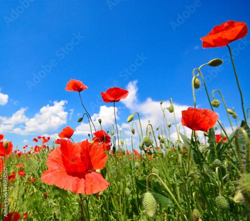 Poster Poppy Poppy flowers, in summertime