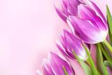 Fototapeta Tulipany - Purple tulips on pink background