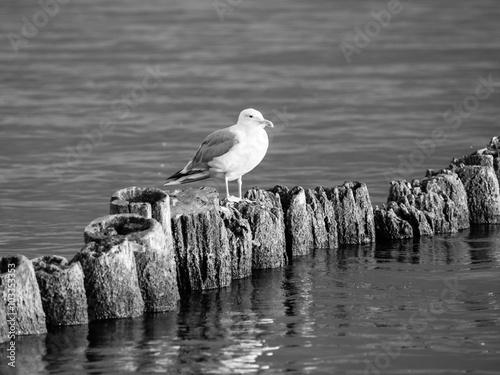 seagull-obsiadanie-na-filarze