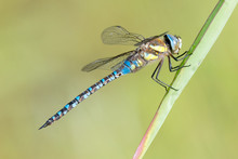 Libelle Dragonfly - Herbst Mosaikjungfer - Aeshna Mixta - Männchen