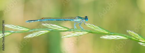 Libelle Dragonfly - Blaue Federlibelle - Platycnemis pennipes - Männchen