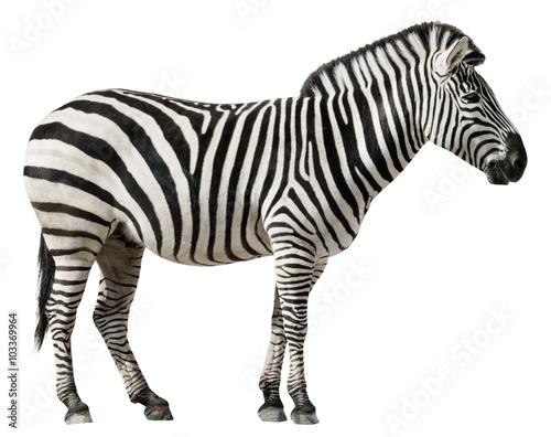 Poster Zebra Zebra Isolated on a White Background